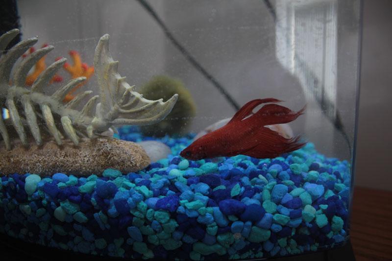 blub-swimming-fish-tank-betta-fish-red