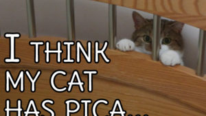 I think my cat has pica… (Signs of Pica and what you can do to help)