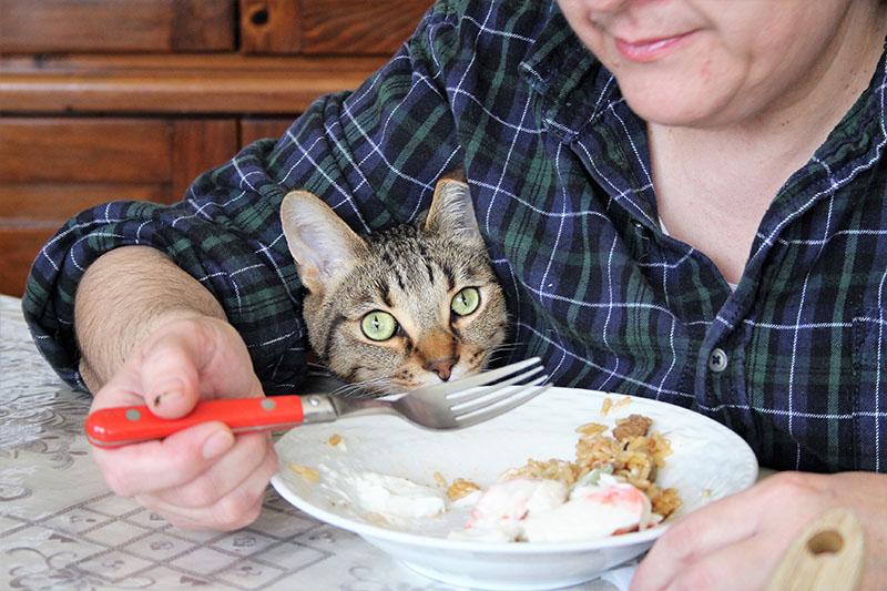 walker-waiting-food-kitten-cat-domestic-shorthair