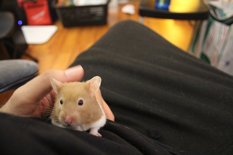 twitch-cute-hamster-pets-overload