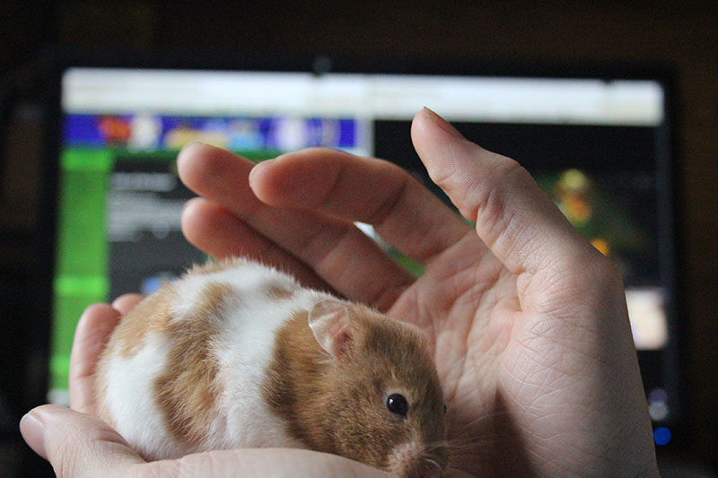 twitch-sniffing-hamster-white-brown-small
