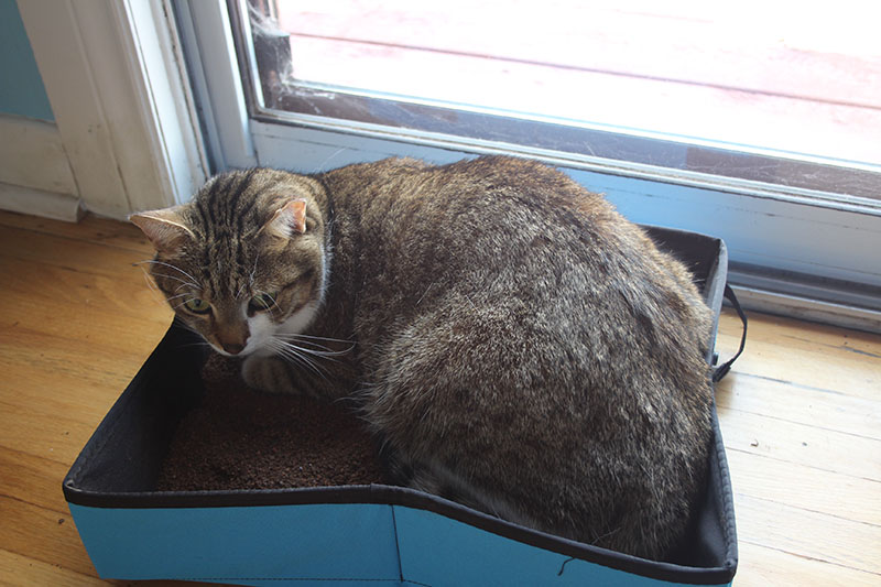 beau-angry-litter-box-kitten-cat-horseshoe