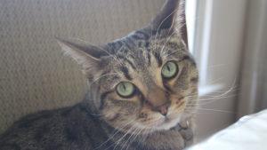 Our Very Talkative Cat Walker (Cute Cat Video)