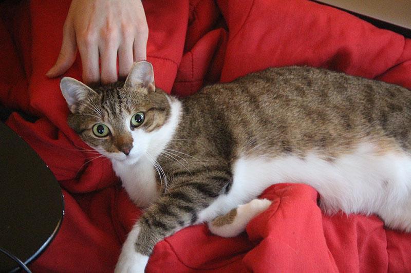 beau-blanket-cute-big-eyes-cat-kitten
