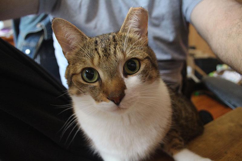 beau-sitting-lap-working-cat-kitten-pets-overload