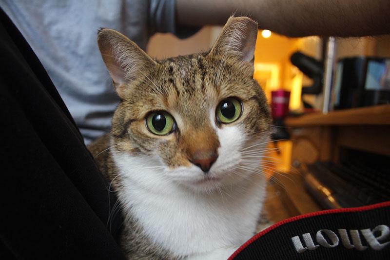 beau-sitting-lap-working-kitten-cat-pets-overload