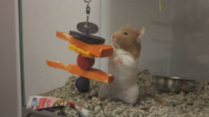 Can Hamsters have Carrots?
