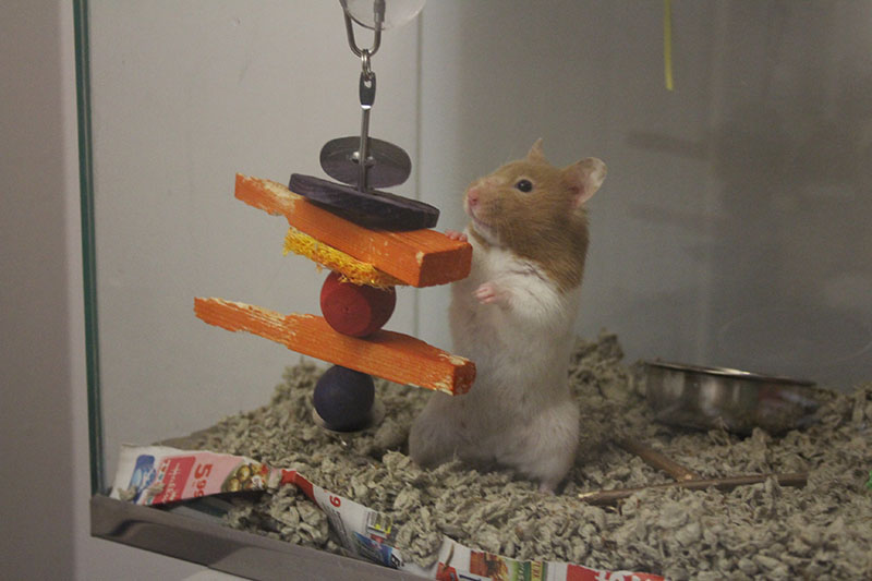 twitch-standing-toy-pride-rock-hamster-small-mammal