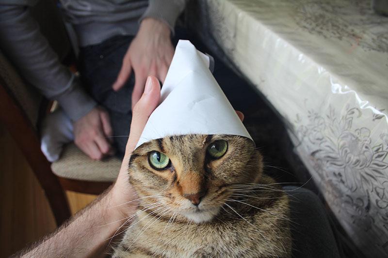 walker-birthday-hat-cute-kitten-domestic-shorthair