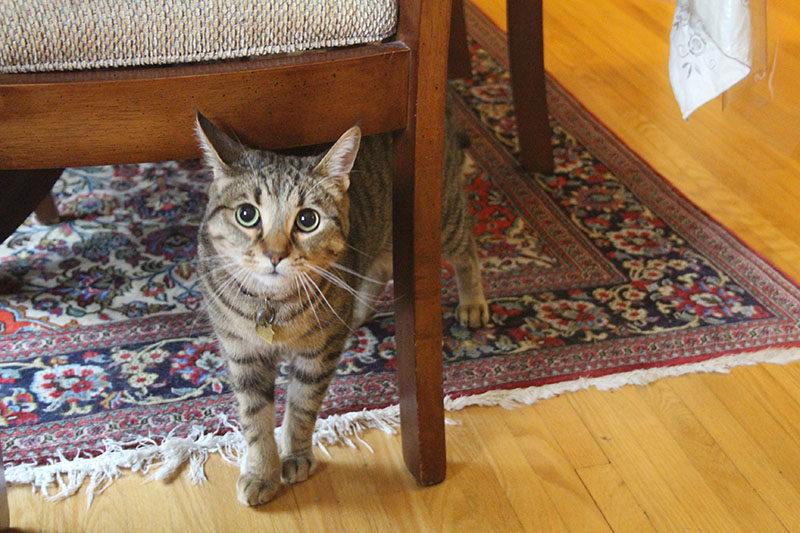 walker-cat-domestic-under-chair-cute-shorthair