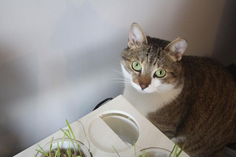 beau-eating-cat-grass-fish-tank-cute-eyes