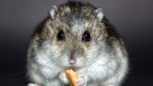 What is a Dwarf Hamster's Lifespan? How long do they live for?