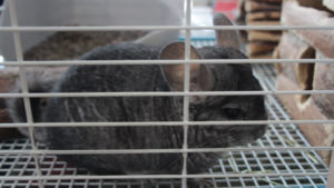How Long Does a Chinchilla Live? How long is their Lifespan?