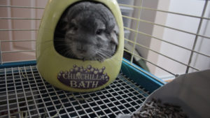 Dust Baths with Gary our Chinchilla (Cute Chinchilla Story)