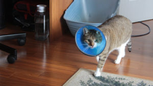 Cat Perineal Urethrostomy (PU) Complications. Should I Go Through the Procedure?