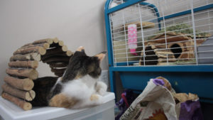 Do Chinchillas Get Along with Cats? Tips on How to Keep the Peace