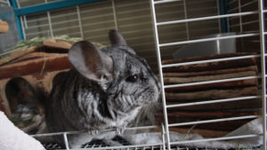 Trying my Best to Bond with Gary (Cute Chinchilla Story)