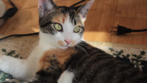Our 78 Favourite Calico Cat Names