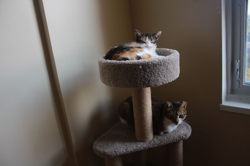 beau-and-kalista-on-cat-tree-2
