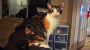 Tortoiseshell Cats vs Calico Cats? What's the Difference?
