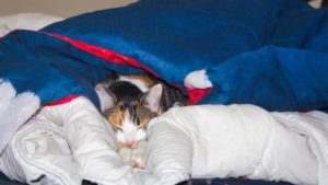 Kalista, Our Cat, Has Learned to Tuck Herself in (Cute Cat Story)