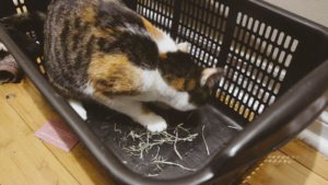 Kalista Has Been Stealing Gary's Hay Again (Cute Cat Story)