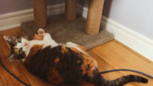 Kalista Can't Choose Between Her New Favourite Toys (Adorable Cat Video)