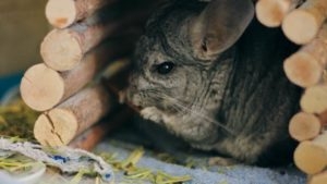 How Much Do Chinchillas Poop? Should I be Worried?