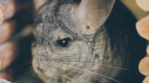 Having Gary, Our Chinchilla, for a Year (Loads of Chinchilla Pictures)