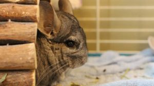 Gary, Our Chinchilla, Loves Dog Toys! (Cute Chinchilla Story & Video)