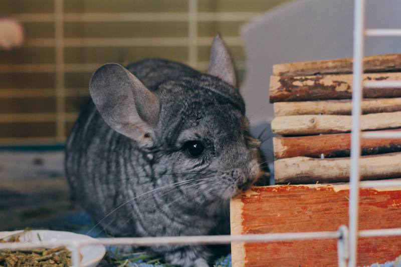 gary-chewing-wood-cage-chinchilla