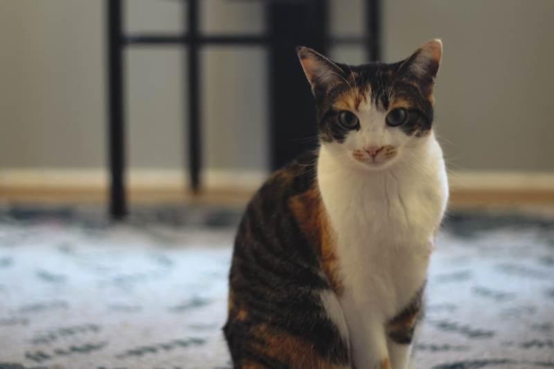 kalista-standing-sunroom-upright-cat-full-body
