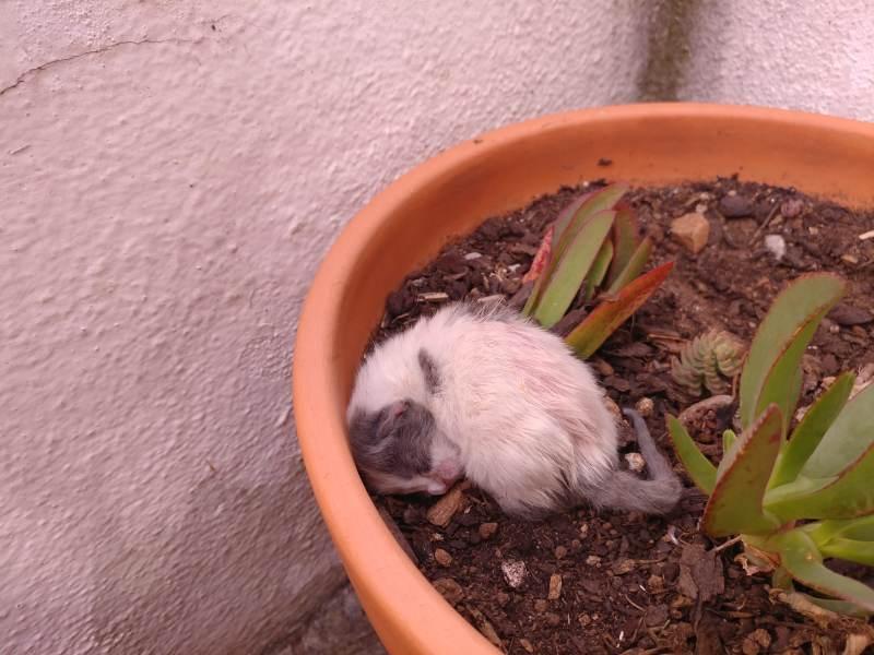flower-pot-kitten-aramis