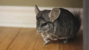 Why Is My Chinchilla Not Drinking? How to Tell If a Chinchilla Is Dehydrated