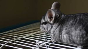 What Treats Can I Give My Chinchilla? Healthiest Treats for Chinchillas