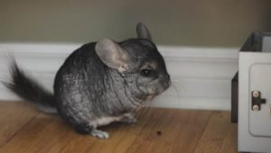 How & How Often Should I Clean My Chinchillas Cage?