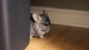 Can Chinchillas Eat Carrots? Are Carrots Healthy For Chinchillas?